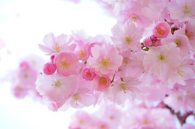 桜花爛漫 読み方 意味 使い方類語 英語