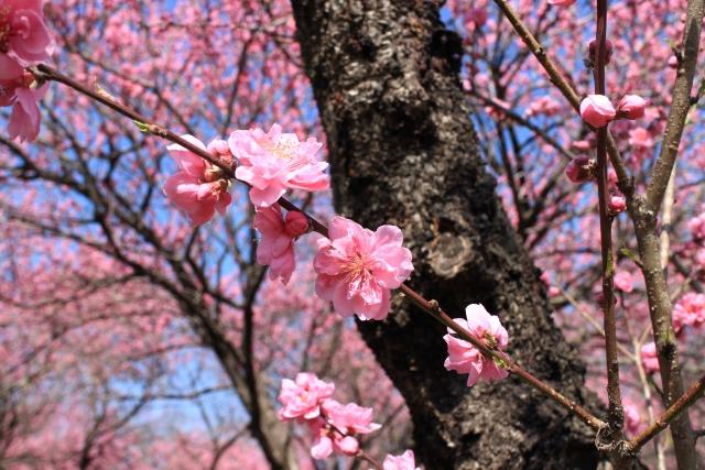 驚き桃の木山椒の木 続き 由来 語源 死語 ヤットデタマン